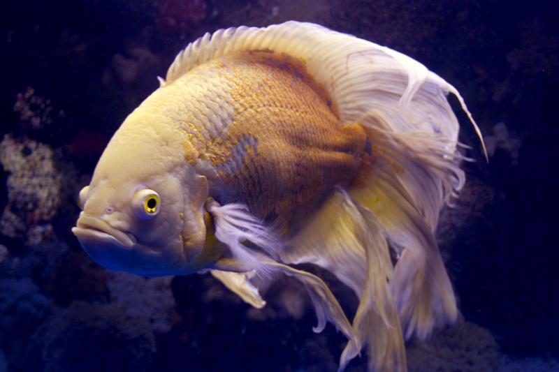 lemon oscar fish - photo #36
