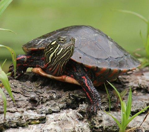 painted turtles slideshow