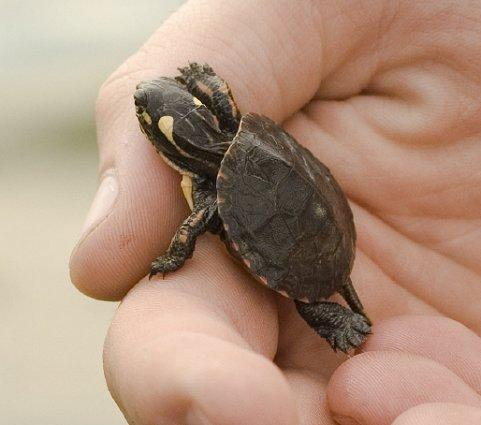 Baby Painted Turtle Pictures Images & Pictures - Becuo