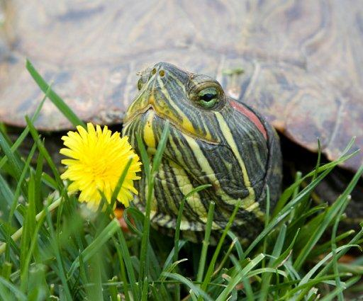 Can Painted Turtles See At Night