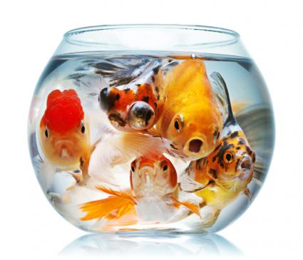 Go Back > Gallery For > Oscar Fish Eating Goldfish