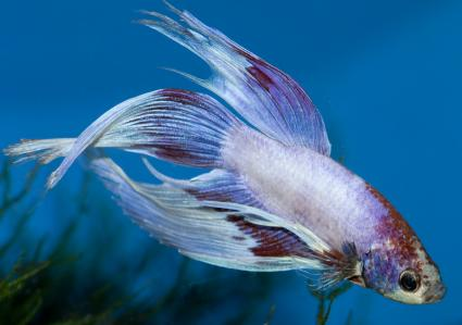 Betta Fish Pictures Lovetoknow