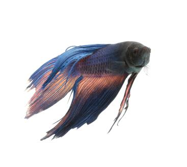 Betta with diseased tail