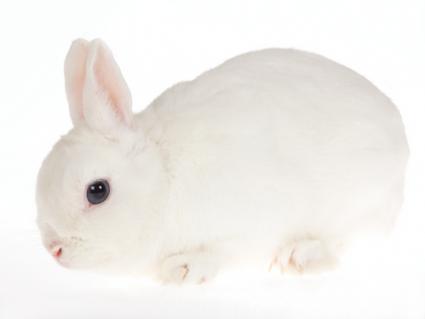White Netherlands Dwarf rabbit