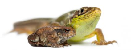 Lizard and toad