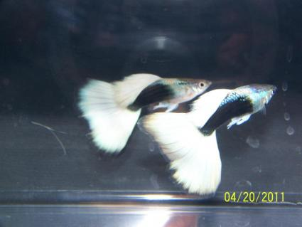Half-black yellow show guppies; Image used with permission from Luke Roebuck