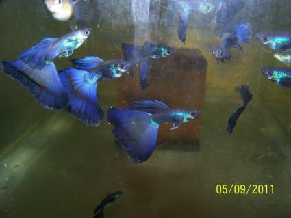 Purple moscow show guppies; Image used with permission from Luke Roebuck.