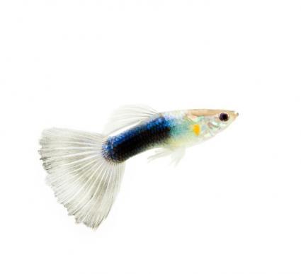 Half-black white guppy