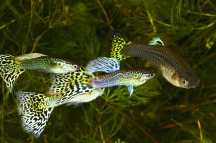 Male guppies chasing a female in an uncontrolled breeding situation