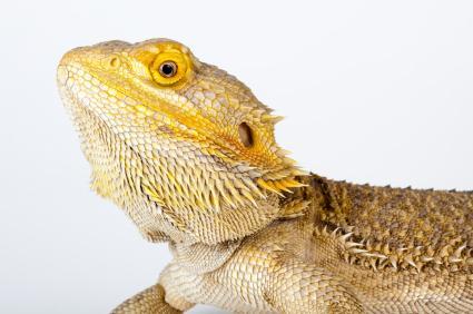 Head shot of bearded dragon