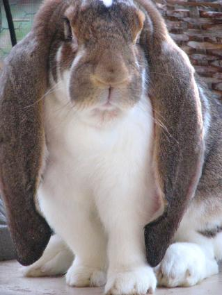 Harley, an English Lop owned by Nancy Nash. Photo by Nancy Nash.