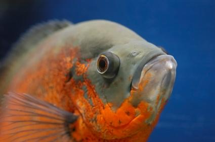 Oscar fish are popular tropical fish for the home aquarium, but they ...