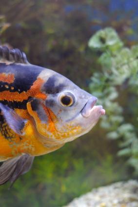 Oscar in his tank