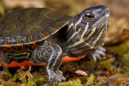 Types Of Pet Turtles Pet turtle names