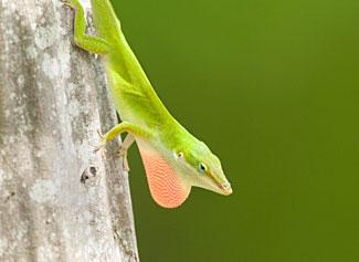 Anole Lizard - Displaying Dewlap