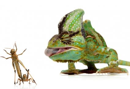 Chameleon about to eat a cricket; Copyright Arnaud Weisser at Dreamstime.com
