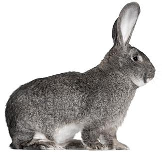 Giant Chinchilla Rabbit giant chinchilla rabbit