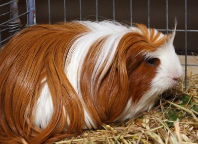 Silkie cavy, aka Guinea Pig; copyright Czertik at Dreamstime.com
