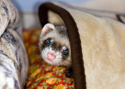 Pet ferret peeking out from under a blanket
