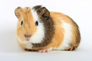 R Guinea Pigs Rodents Guinea pig