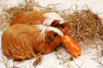 Guinea pigs muching hay and carrots