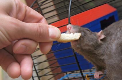 Pet rat nibbling on a treat