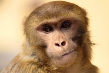 Monkeys as pets