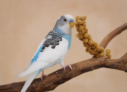 Pet parakeet eating millet