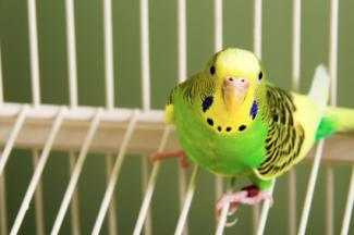 Parakeet and cage with proper bar spacing