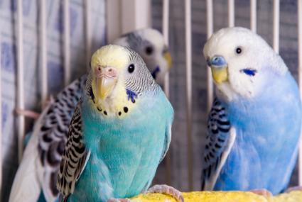American parakeet female on left, male on right