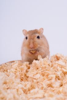 Gerbil eating from his food stash