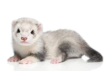Cute pet ferret
