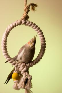 Cinnamon cockatiel on a rope swing