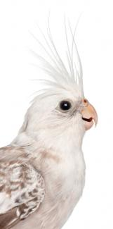 Healthy white face pearl cockatiel