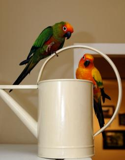Sun conure hanging out with gold capped conure