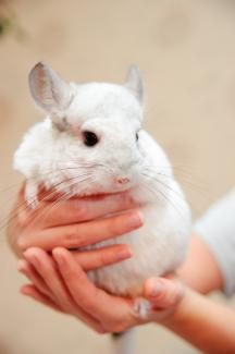 Holding a chinchilla the correct way; © Anna Yakimova | Dreamstime.com