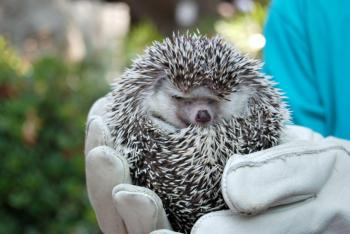 Wearing gloves to hold an adult hedgehog