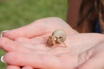 The right way to hold a hermit crab; © Kelsey Burdo | Dreamstime.com