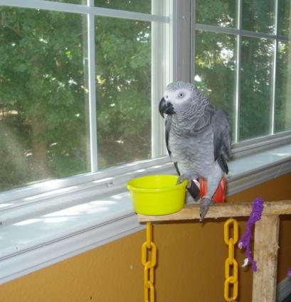 Congo Afrcian Grey Parrot on her play stand