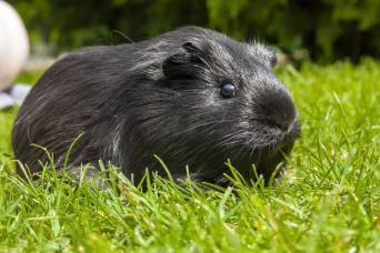 American Satin Guinea Pig