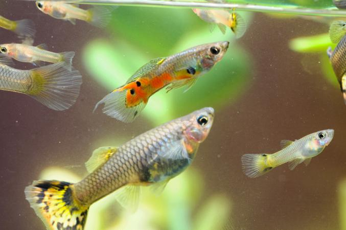 Pregnant guppy fish lovetoknow for Pregnancy and fish