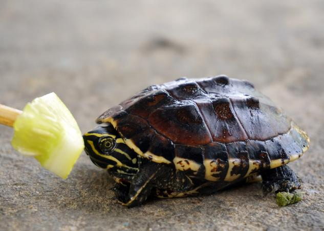 What Do Baby Turtles Eat?