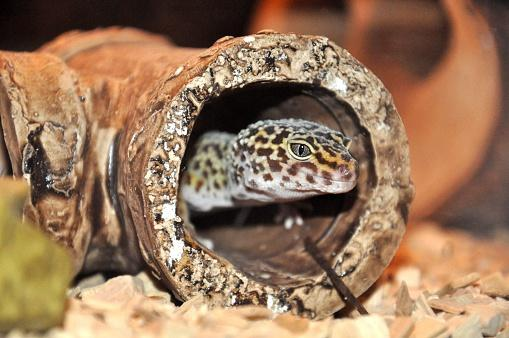 Close-Up Of Gecko