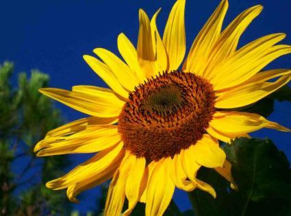 sunflower tattoo, Natural flower
