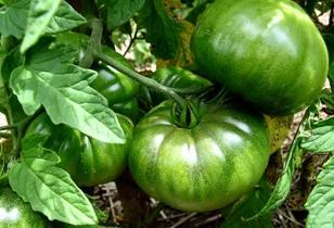 organic green tomatoes