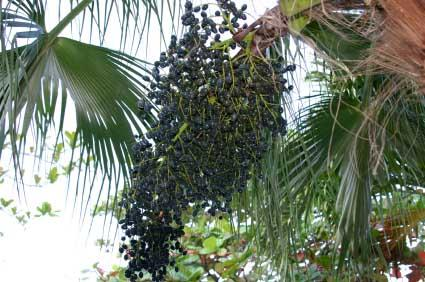 Acai berries on the palm tree