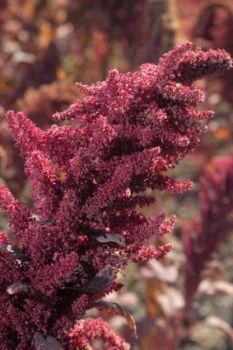 A sprig of amaranth.