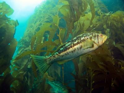 Bass Swimming in Kelp