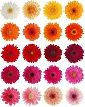 Gerbera daisy color options