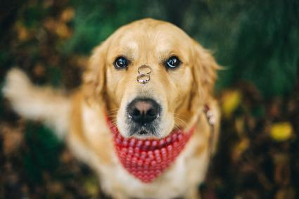 Dog with two wedding rings on his nose